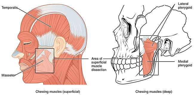 Lateral Pterygoid