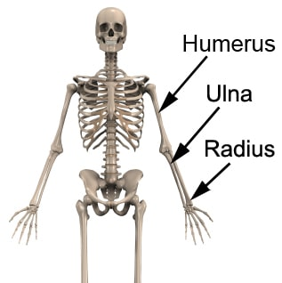 Radius On The Skeleton