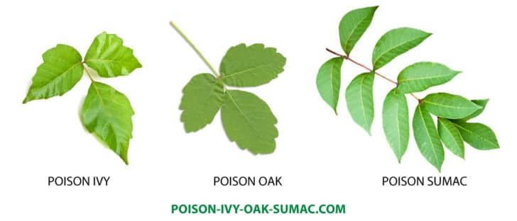 how does poison ivy spread